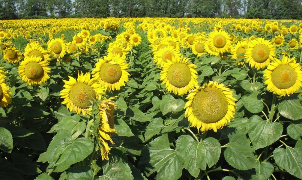 Семена гибридов подсолнечника, гибриды кукурузы, сзр в комплексе, удобрения - Подсолнечник масличный - Торговая площадка на сайт